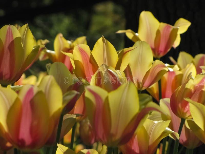 Λεπτομερείς κίτρινες τουλίπες με τις πορτοκαλιές, ρόδινες εμφάσεις στοκ φωτογραφίες