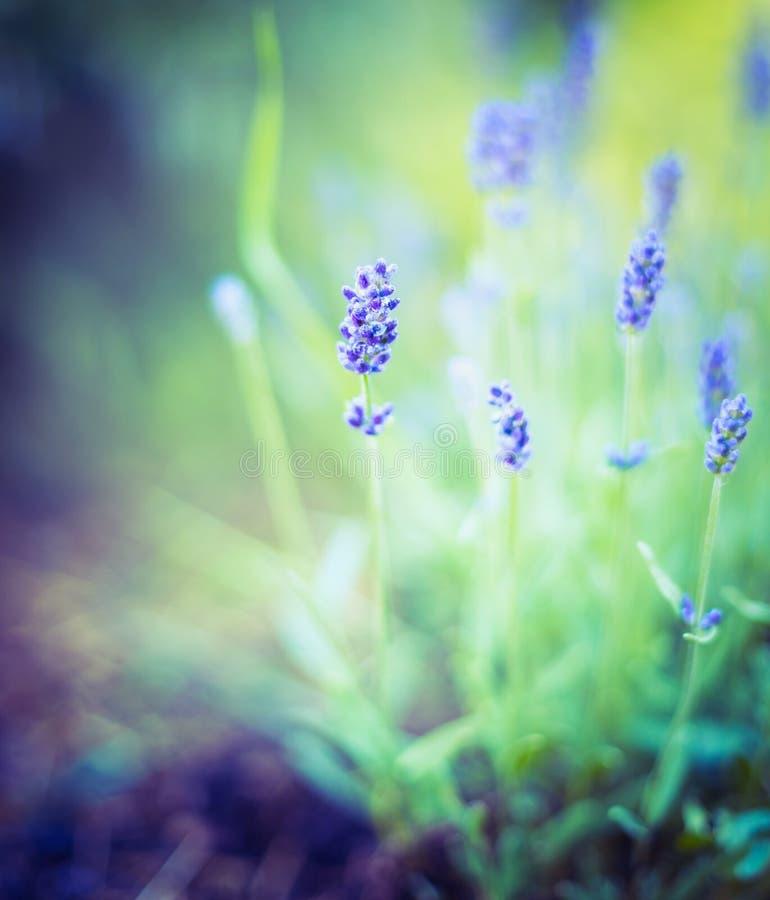 Λεπτός lavender θάμνος στο θολωμένο υπόβαθρο φύσης στοκ φωτογραφίες
