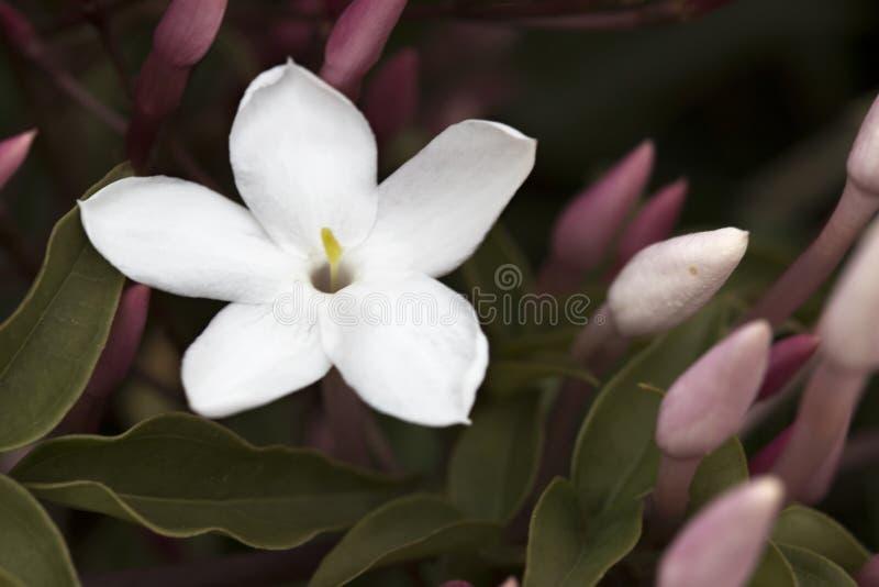 Λεπτό άσπρο jasmine και μερικοί οφθαλμοί στοκ εικόνα