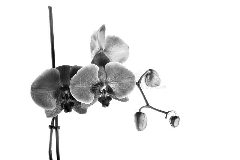 Λεπτό ανθίζοντας λουλούδι ορχιδεών απομονωμένο στο λευκό υπόβαθρο στοκ φωτογραφία με δικαίωμα ελεύθερης χρήσης
