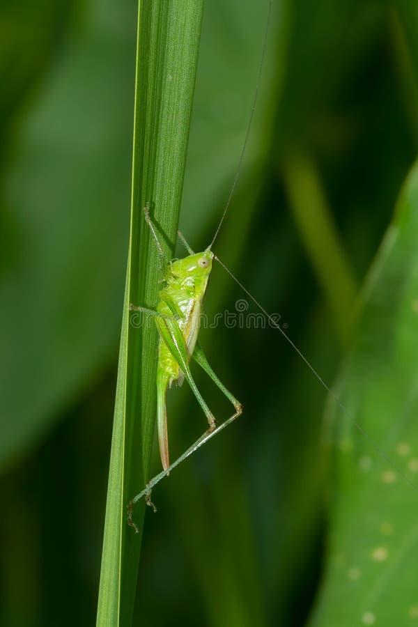 Λεπτό λιβάδι Katydid - fasciatus Conocephalus στοκ φωτογραφίες με δικαίωμα ελεύθερης χρήσης