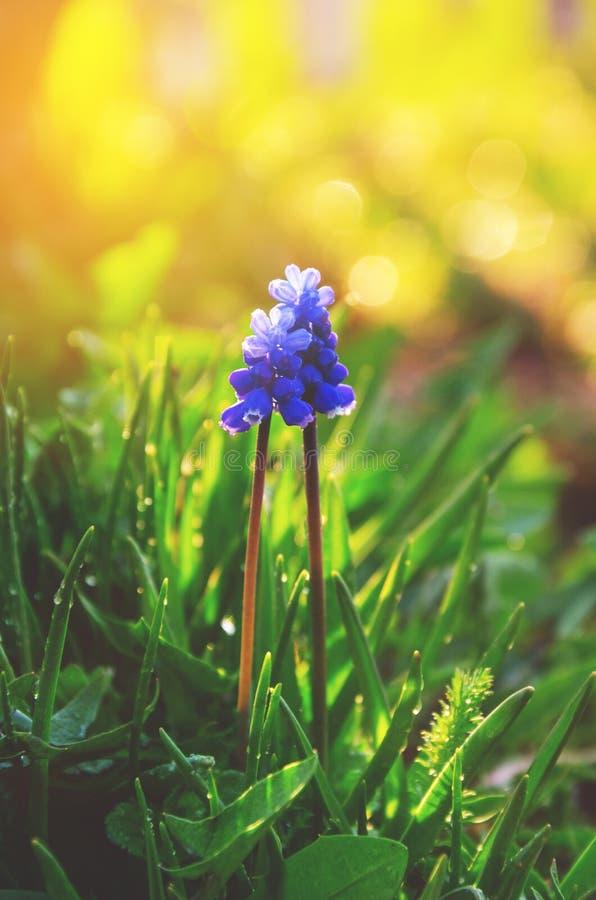 Λεπτό μπλε λουλούδι υάκινθων muscari ή σταφυλιών που αυξάνεται την άνοιξη τον κήπο στοκ εικόνες