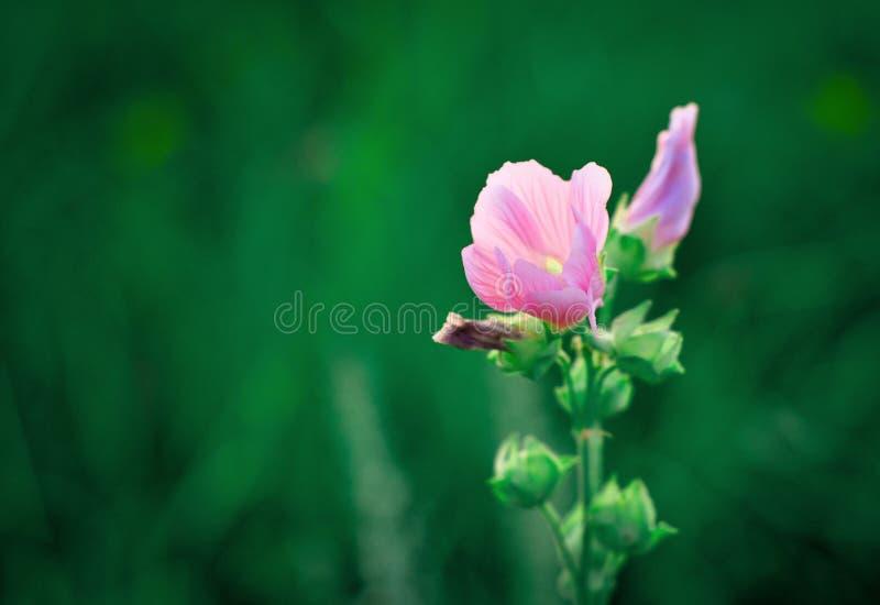 Λεπτό ρόδινο ρόδινο λουλούδι μισό-οφθαλμών σε ένα πράσινο υπόβαθρο στοκ φωτογραφίες με δικαίωμα ελεύθερης χρήσης