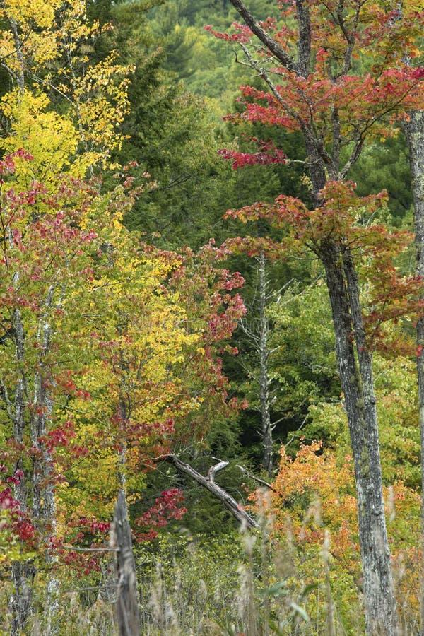 Λεπτό χρώμα φθινοπώρου στο έλος σε Bigelow κοίλο στοκ εικόνες