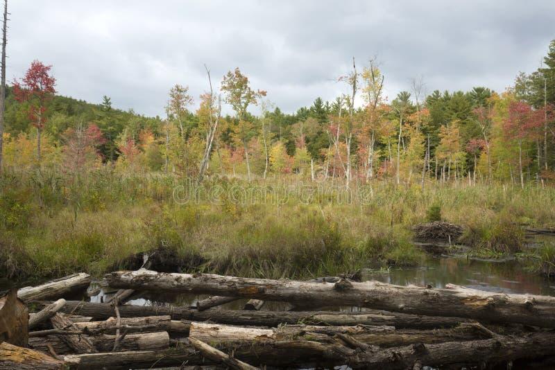 Λεπτό χρώμα φθινοπώρου στο έλος σε Bigelow κοίλο στοκ εικόνα