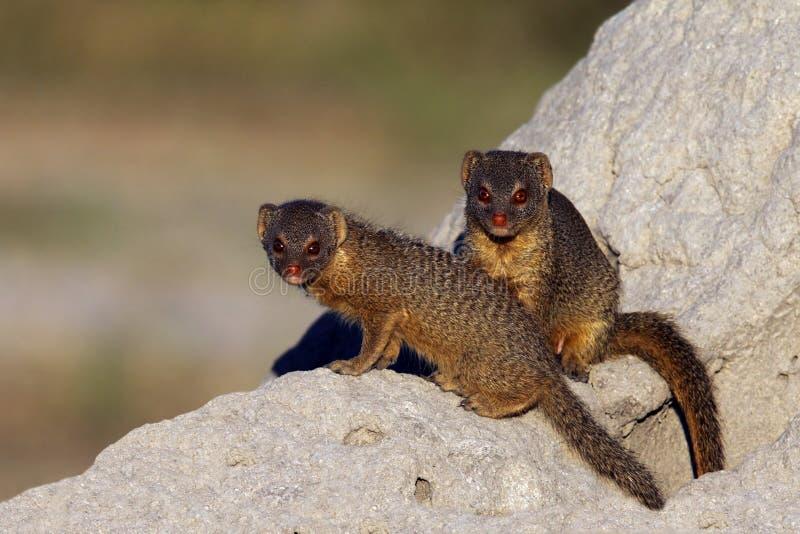 Λεπτό Mongoose - Μποτσουάνα στοκ φωτογραφία με δικαίωμα ελεύθερης χρήσης