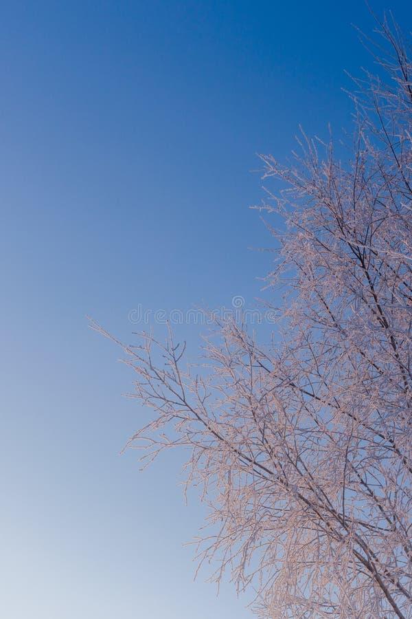Λεπτύντε τους παγωμένους κλάδους σημύδων στο σαφές μπλε υπόβαθρο ουρανού κλίσης το χειμερινό φως της ημέρας στοκ φωτογραφία με δικαίωμα ελεύθερης χρήσης