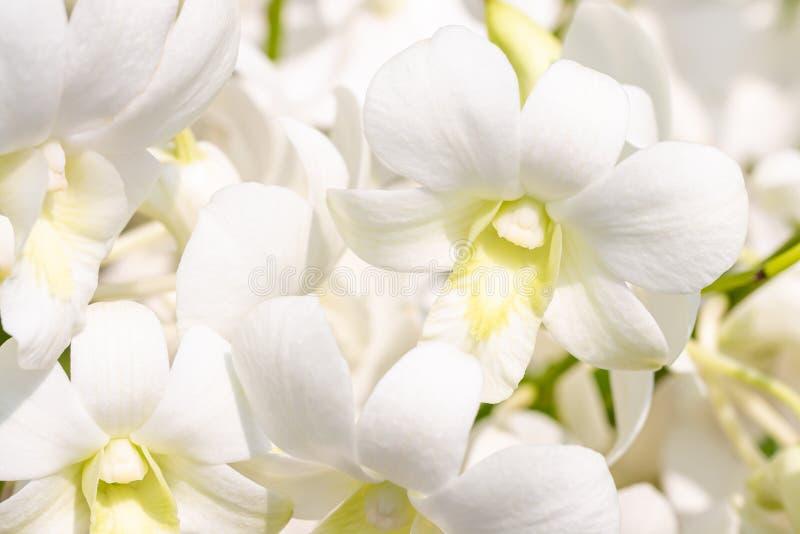 Λευκές ορχιδέες, Dendrobium στοκ φωτογραφία