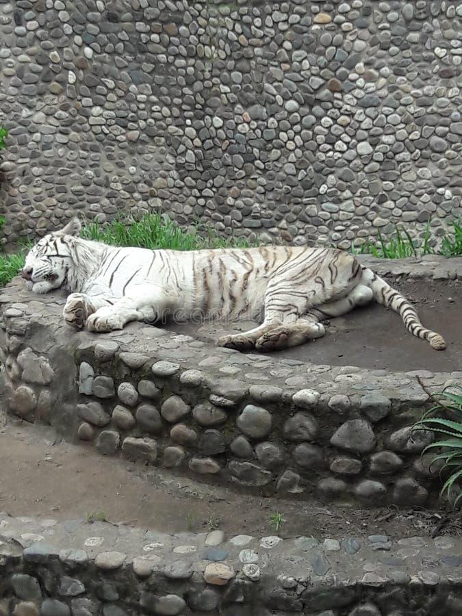 Λευκή τίγρης στο ζωολογικό κήπο στην Κόρδοβα Αργεντινή Νότια Αμερική στοκ εικόνες