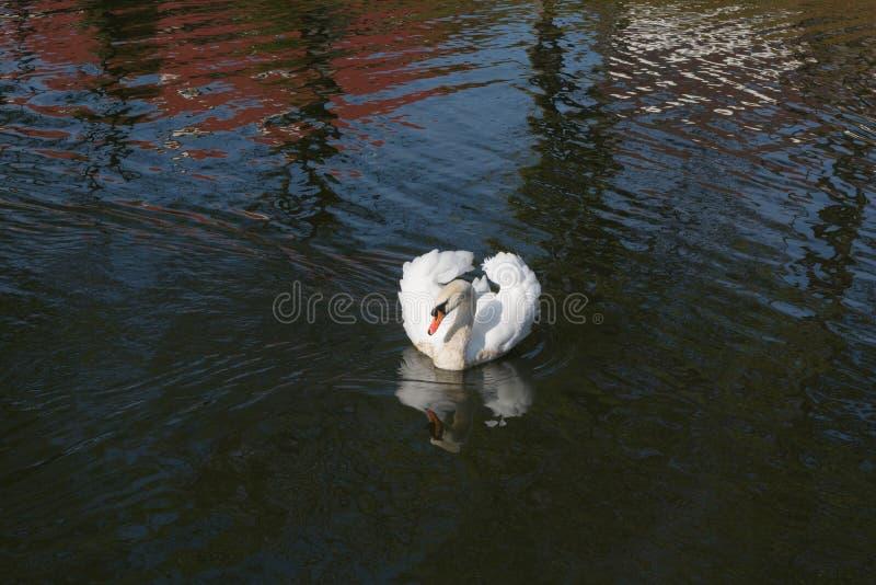 Λευκιά βασίλισσα της λίμνης στοκ εικόνες