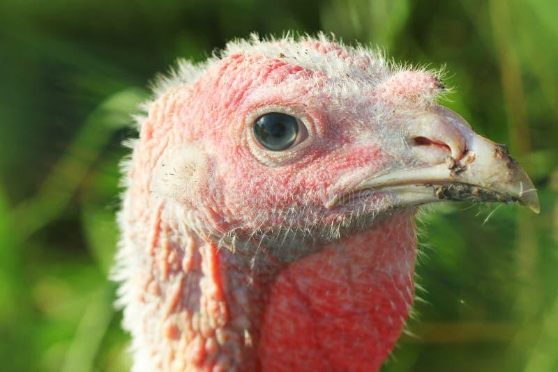Λευκιά νέα Τουρκία σε ένα αγρόκτημα στοκ φωτογραφία με δικαίωμα ελεύθερης χρήσης