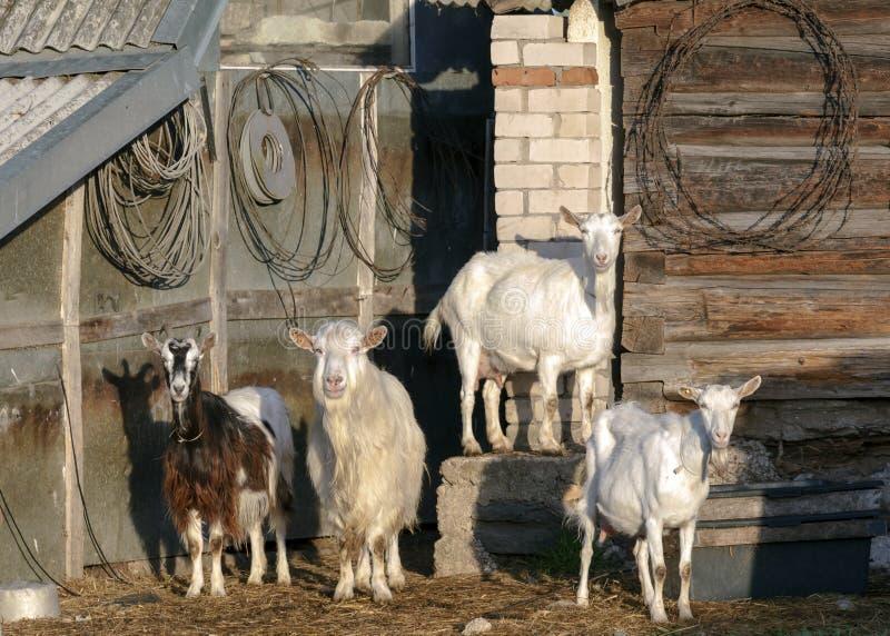 Λευκιά οικογένεια αιγών ελεύθερος-σειράς που εξετάζει τη κάμερα στο βιώσιμο οργανικό αγρόκτημα με τους πράσινους τομείς κάτω από  στοκ εικόνες