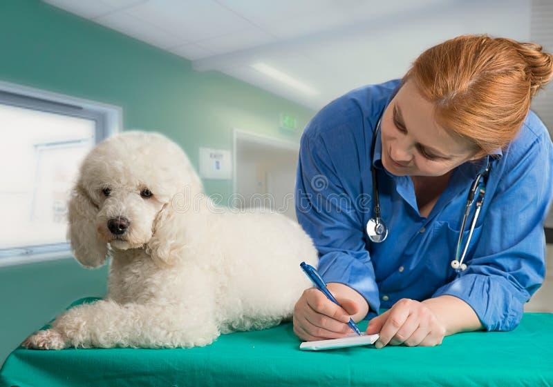 Λευκοί pooder και κτηνίατρος στοκ εικόνες με δικαίωμα ελεύθερης χρήσης