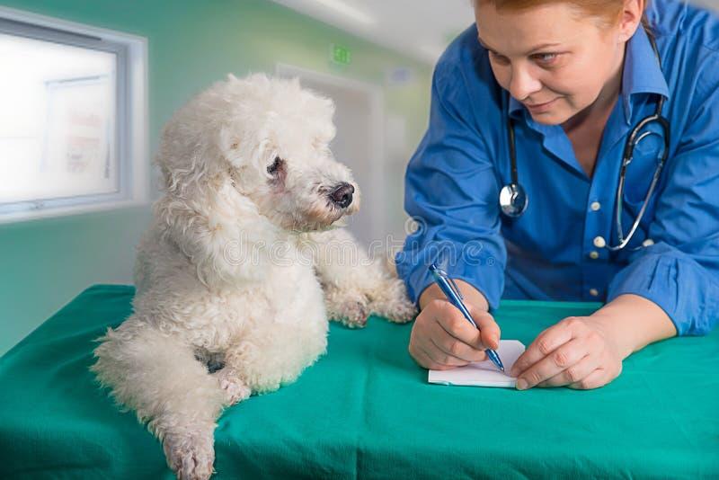 Λευκοί pooder και κτηνίατρος στοκ φωτογραφίες