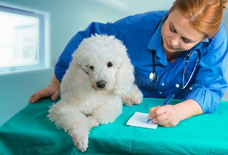 Λευκοί pooder και κτηνίατρος στοκ φωτογραφία με δικαίωμα ελεύθερης χρήσης