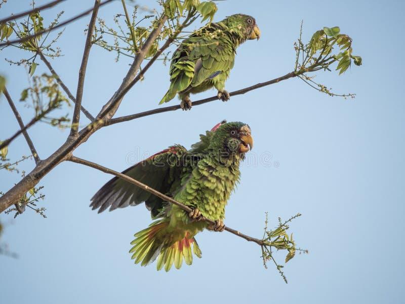 2 λευκομέτωπες Αμαζώνες στους κλαδίσκους στοκ φωτογραφία με δικαίωμα ελεύθερης χρήσης