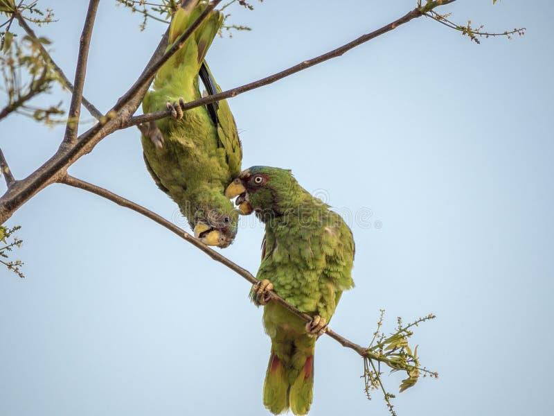 2 λευκομέτωπες Αμαζώνες στους κλαδίσκους στοκ εικόνα με δικαίωμα ελεύθερης χρήσης