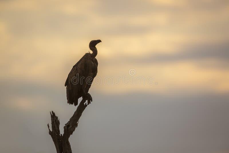 Λευκόραχος γύπας στο εθνικό πάρκο Kruger, Νότια Αφρική στοκ εικόνα με δικαίωμα ελεύθερης χρήσης