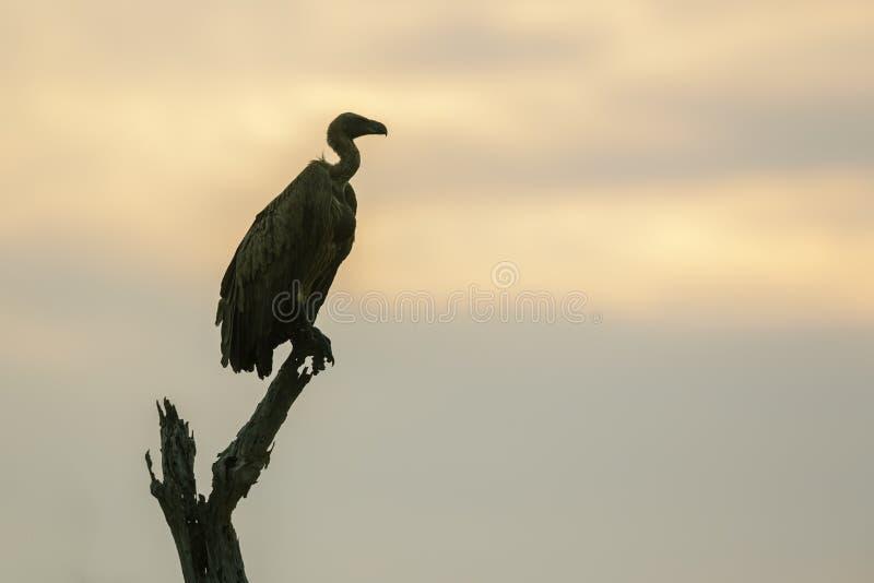 Λευκόραχος γύπας στο εθνικό πάρκο Kruger, Νότια Αφρική στοκ φωτογραφία