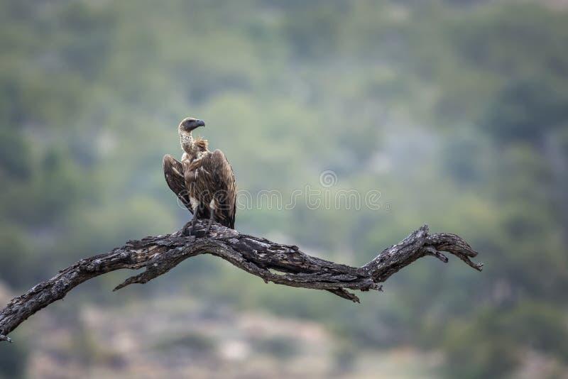 Λευκόραχος γύπας στο εθνικό πάρκο Kruger, Νότια Αφρική στοκ εικόνες με δικαίωμα ελεύθερης χρήσης