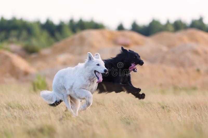 Λευκός γερμανικός ποιμένας και ένα υβριδικό σκυλί που τρέχει στο λιβάδι στοκ φωτογραφία με δικαίωμα ελεύθερης χρήσης