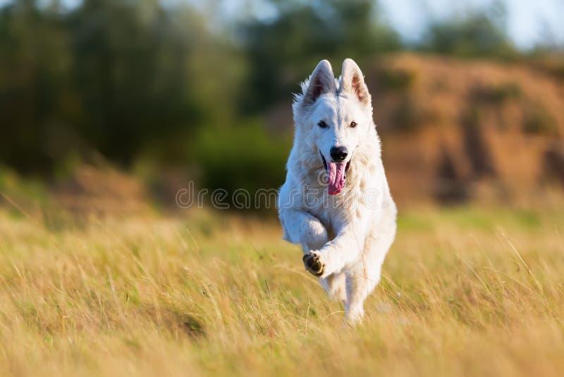 Λευκός γερμανικός ποιμένας που τρέχει στο λιβάδι στοκ φωτογραφία