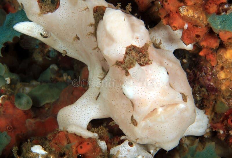 Λευκός κλόουν Frogfish στοκ εικόνες