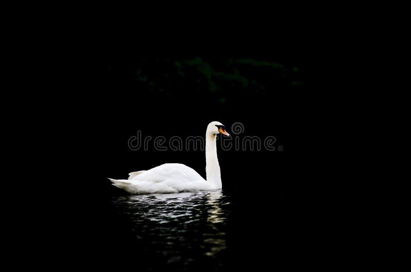 Λευκός κύκνος σε μαύρο φόντο Cygnus atratus στοκ φωτογραφίες με δικαίωμα ελεύθερης χρήσης