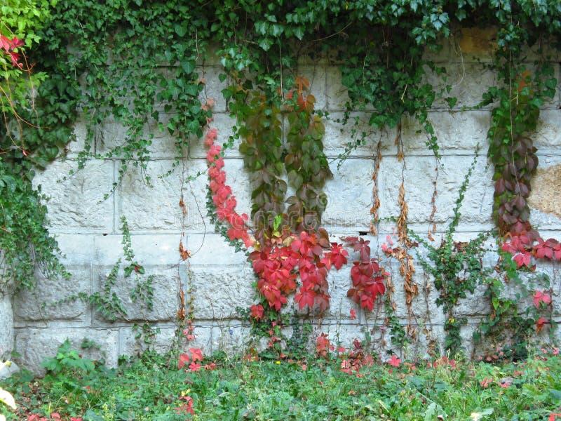 Λευκός τοίχος από πέτρινα τετράγωνα καλυμμένα με πράσινο κισσό και κόκκινο Virginia Creeper στοκ εικόνες με δικαίωμα ελεύθερης χρήσης
