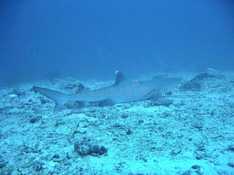 Download λευκό ακρών καρχαριών στοκ εικόνα. εικόνα από υποβρύχιος - 391125