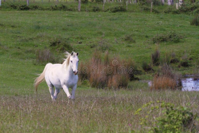 λευκό αλόγων πεδίων στοκ φωτογραφίες με δικαίωμα ελεύθερης χρήσης