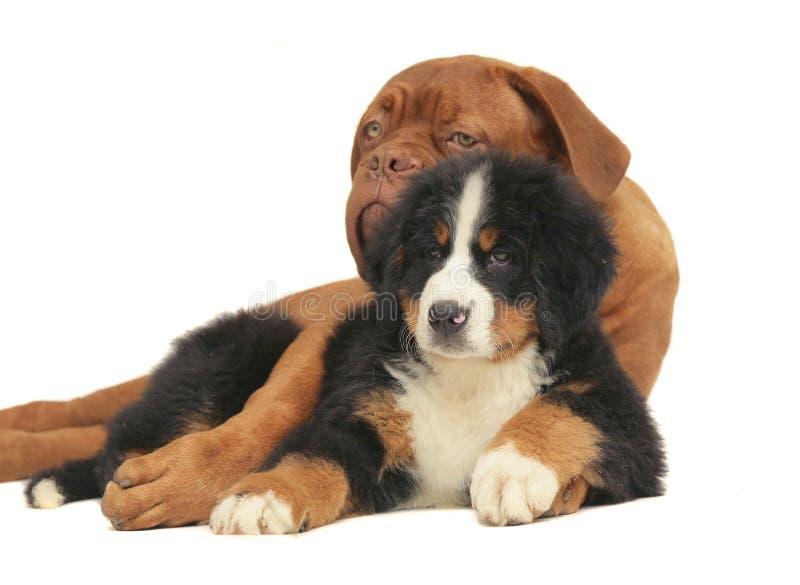 λευκό ανασκόπησης puppys στοκ εικόνα