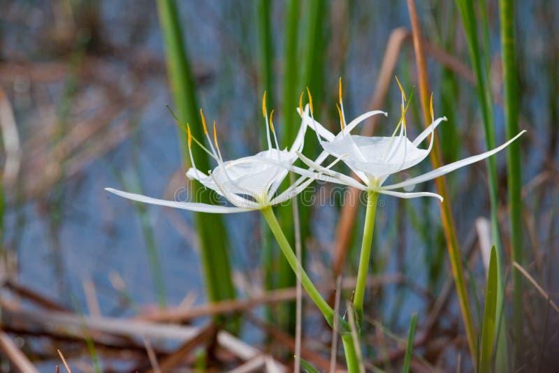 λευκό αραχνών κρίνων λου&lambd στοκ εικόνες