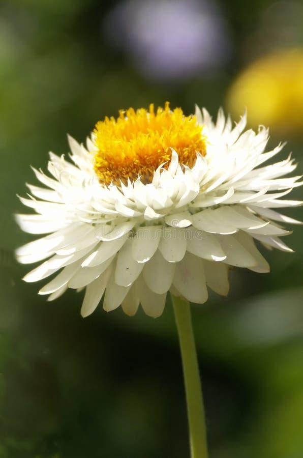 λευκό αχύρου λουλου&delta στοκ φωτογραφίες
