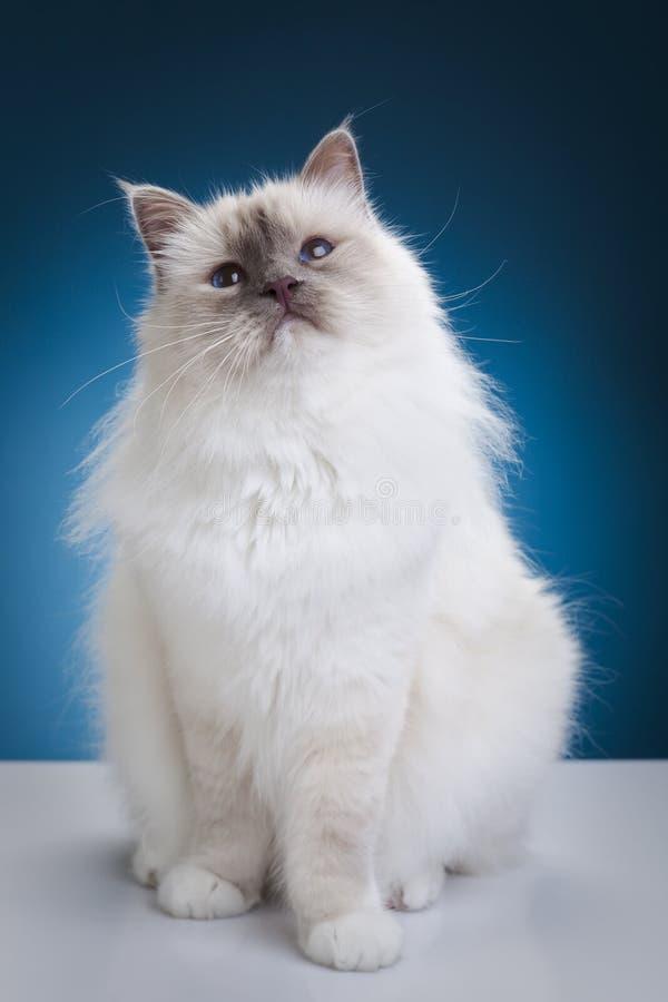 λευκό γατών στοκ εικόνα με δικαίωμα ελεύθερης χρήσης