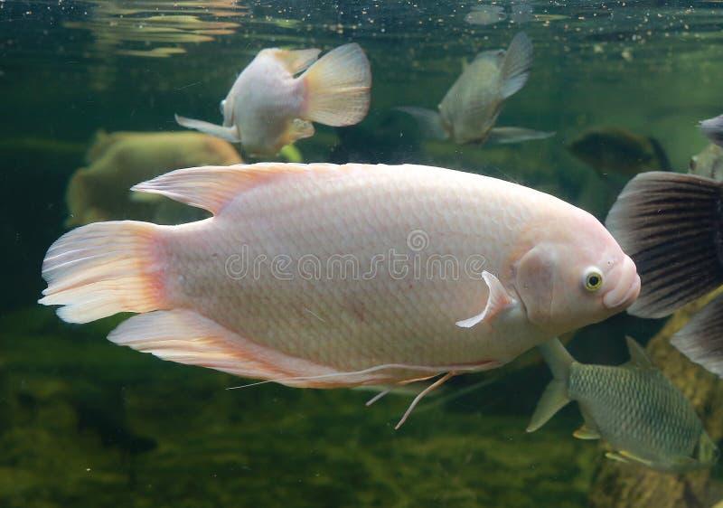 Λευκό γιγάντιο γουράμι ψάρι Osphronemus goramy κολυμπάει σε ενυδρείο στοκ εικόνες