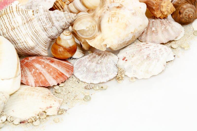 λευκό θαλασσινών κοχυλιών στοκ εικόνες με δικαίωμα ελεύθερης χρήσης