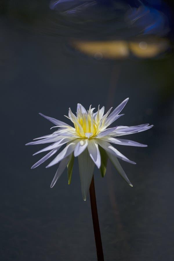Λευκό και Lavender λουλούδι κρίνων νερού ενάντια στο σκοτεινό νερό στοκ φωτογραφίες