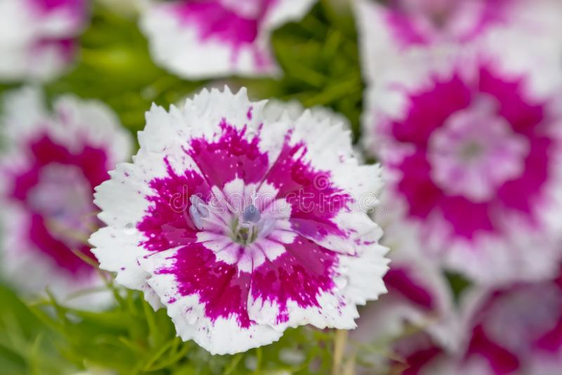 Λευκό και puple γλυκά λουλούδια του William, στενός-uo - barbatus Dianthus στοκ εικόνα