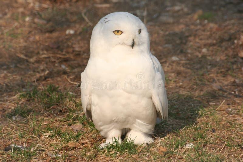 λευκό κουκουβαγιών στοκ εικόνες
