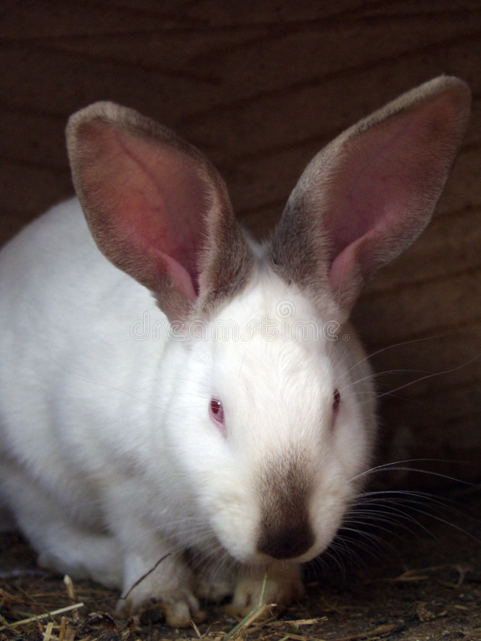 Download λευκό κουνελιών στοκ εικόνα. εικόνα από πάσχα, μάτι, ένας - 90005