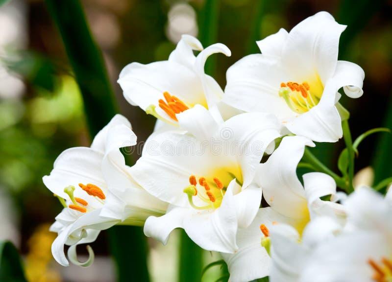 λευκό κρίνων στοκ εικόνες με δικαίωμα ελεύθερης χρήσης