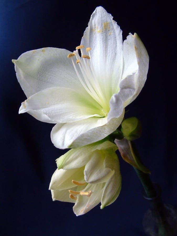 λευκό κρίνων στοκ φωτογραφία