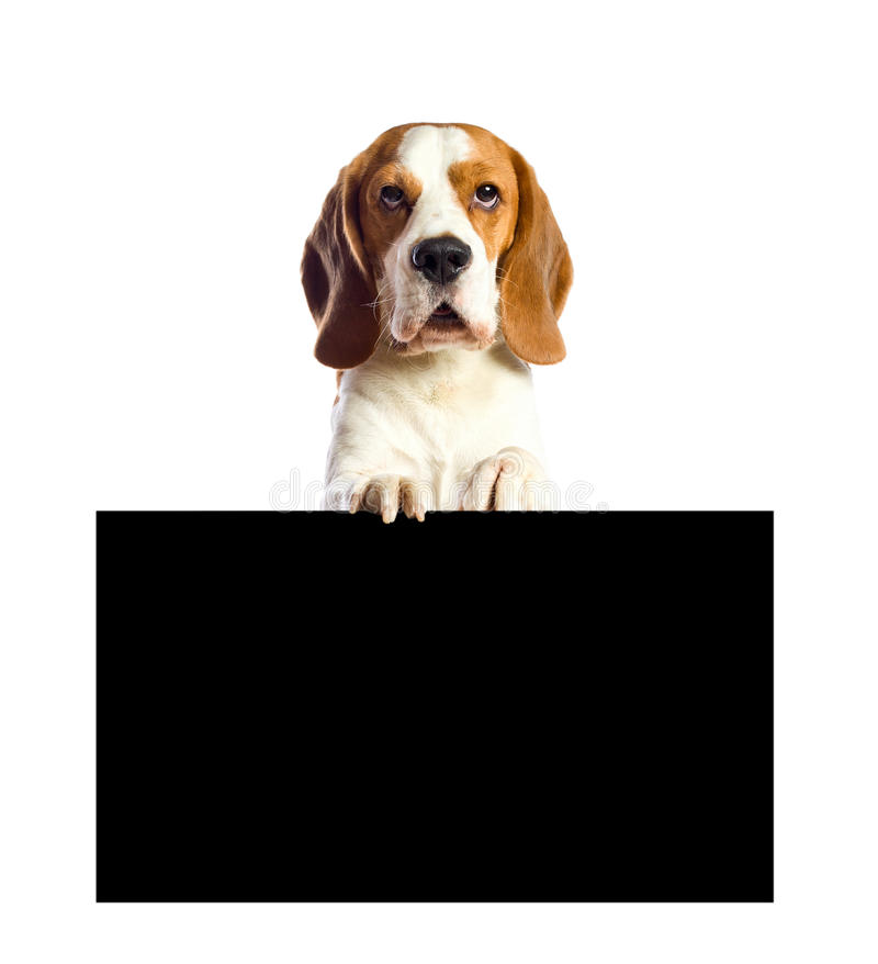 λευκό λαγωνικών ανασκόπη στοκ φωτογραφία με δικαίωμα ελεύθερης χρήσης
