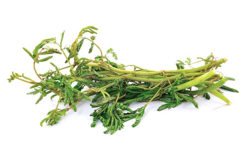 λευκό λαχανικών mimosa στοκ φωτογραφία με δικαίωμα ελεύθερης χρήσης
