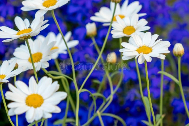 Λευκό λουλουδιών μαργαριτών λουλουδιών της Daisy στο μπλε υπόβαθρο στοκ εικόνα