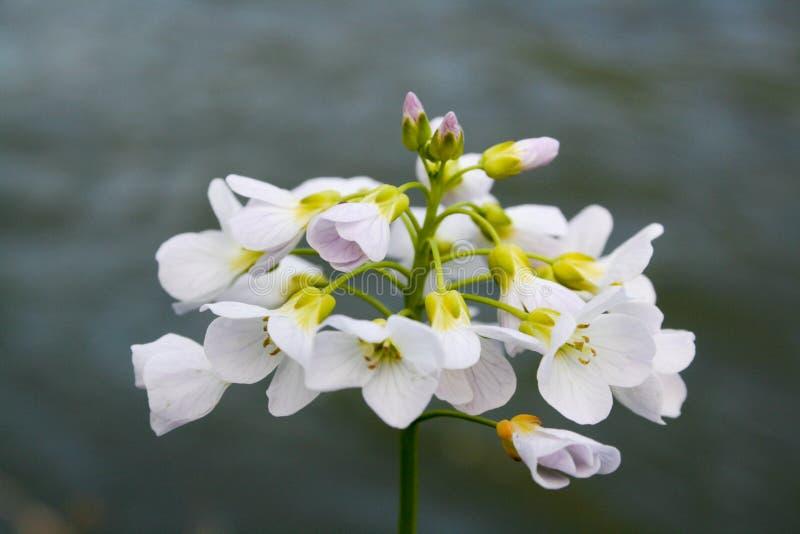 Download λευκό λουλουδιών στοκ εικόνες. εικόνα από bloodsuckers - 13189236