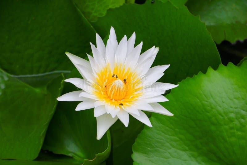 Λευκό λουλουδιών Lotus ή νερό lilly και η μέλισσα που απορροφιέται στη γύρη κλείστε επάνω όμορφο στη φύση στοκ φωτογραφίες