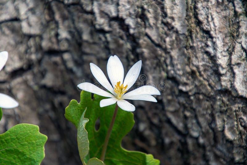 Λευκό λουλούδι στοκ φωτογραφία