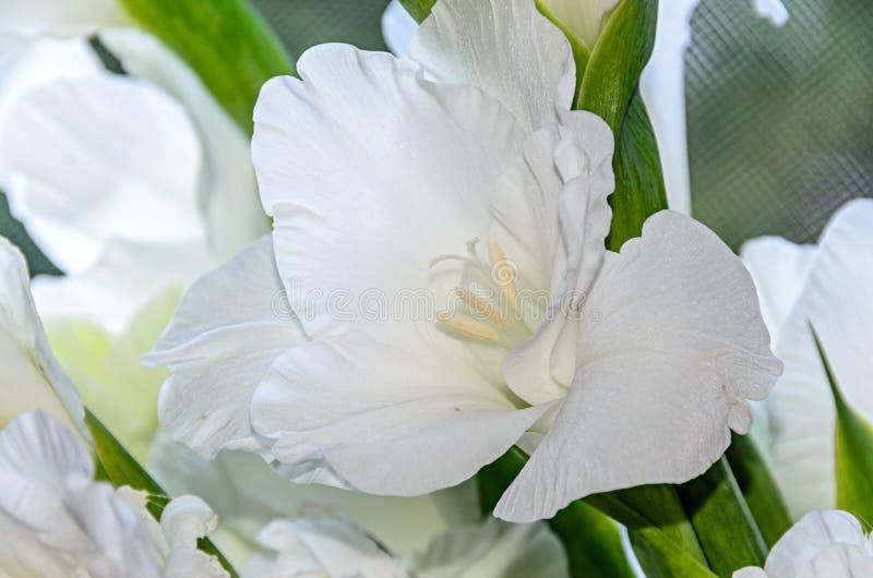 Λευκό λουλούδι Gladiolus imbricatus, κοντά στοκ φωτογραφία